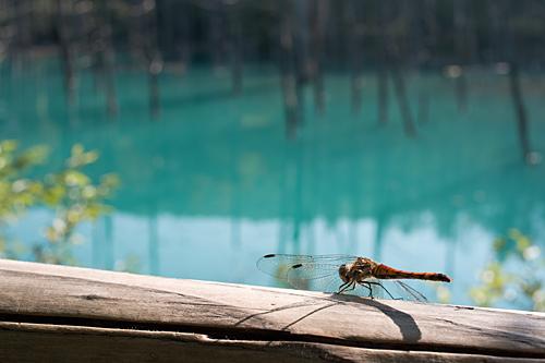 美瑛の青い池にいたトンボ