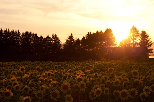 旭川のひまわり畑で見る夕陽