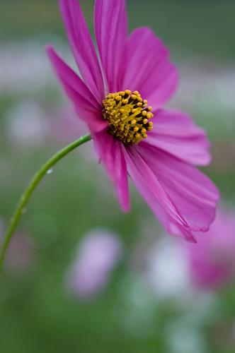 くりはま花の国のコスモス