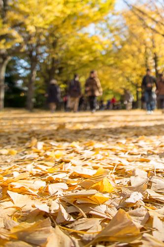 昭和記念公園の銀杏並木