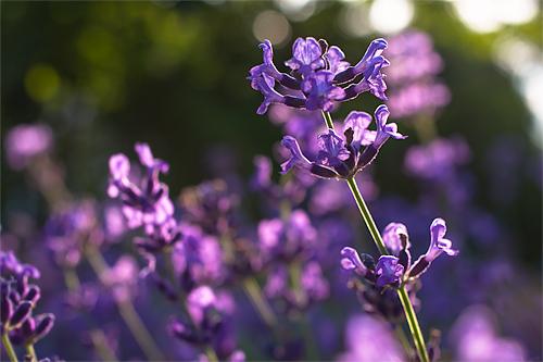 紫のゆらめき