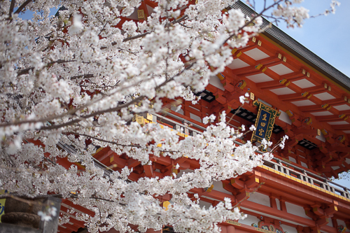 神戸生田神社の桜