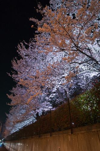 桜 夜桜 風まかせネット