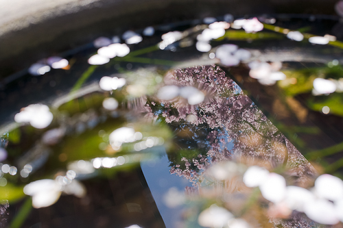 京都大原三千院 桜