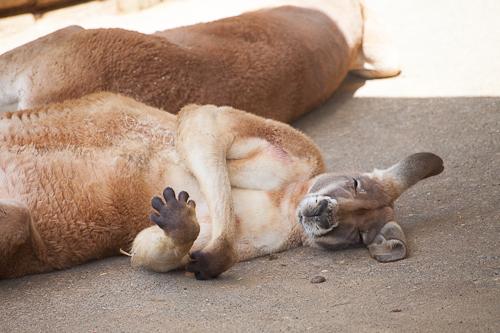 アカカンガルー 多摩動物公園